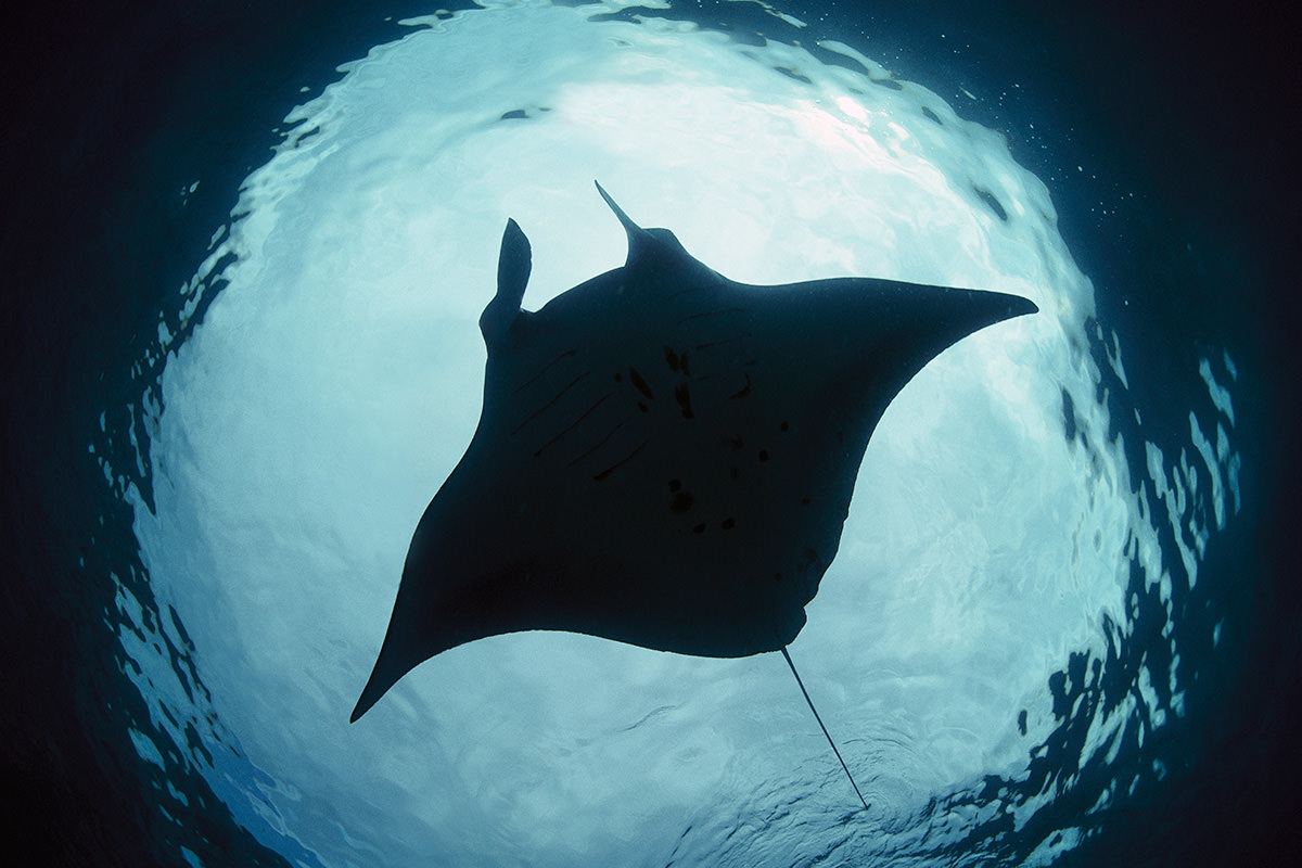 Manta rays are first fish to recognise themselves in a ...