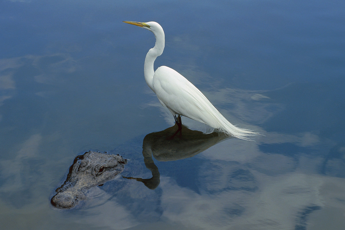 A great egret perching on an alligator