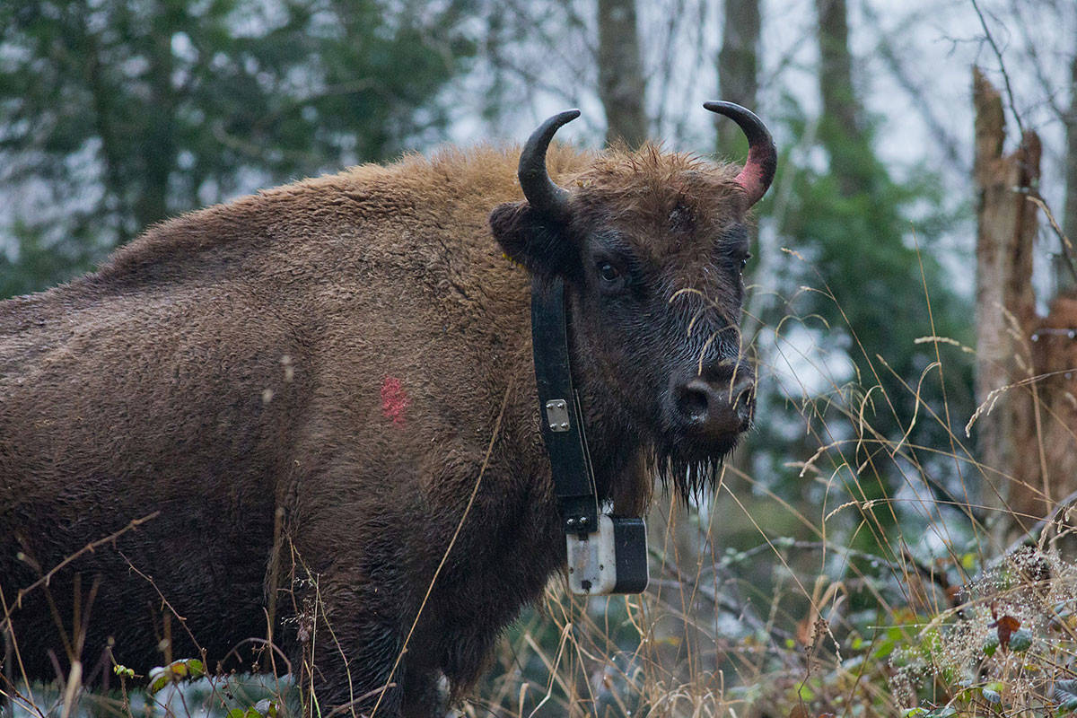 European bison in Romania