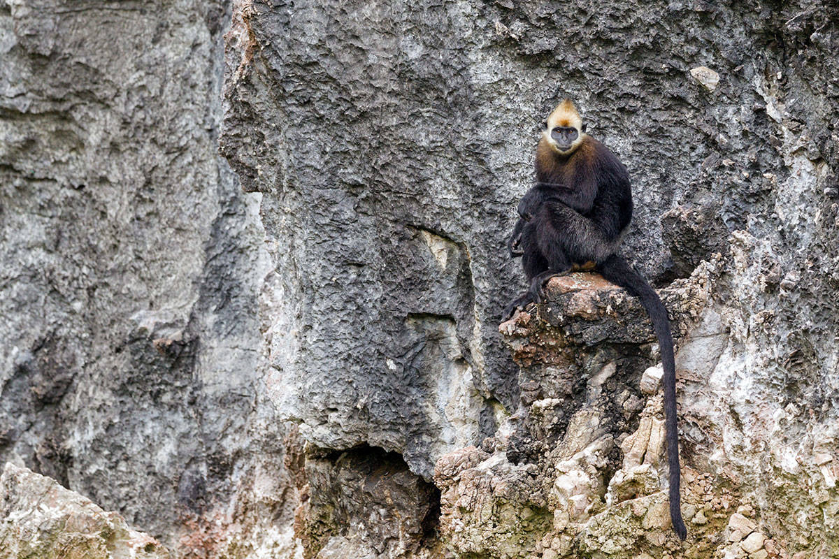 A Cat Ba langur on a cliff face