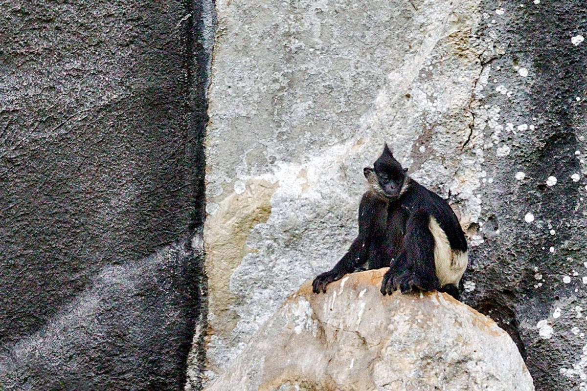 A Delacour's langur on a cliff face