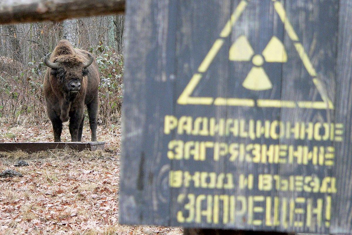 Chernobyl bison