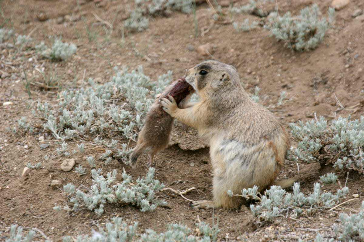 Prairie dog with a ground squirrel in its mouth