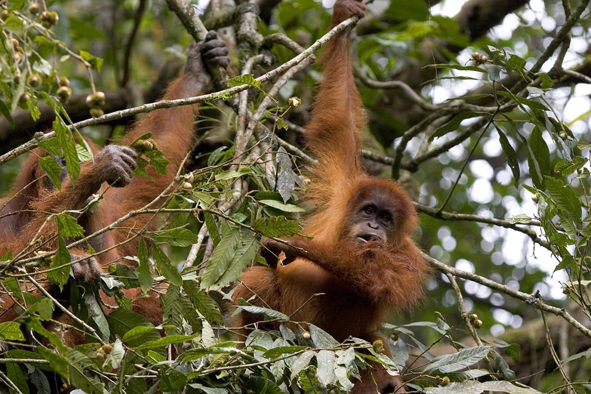 Orangutan Island  Update