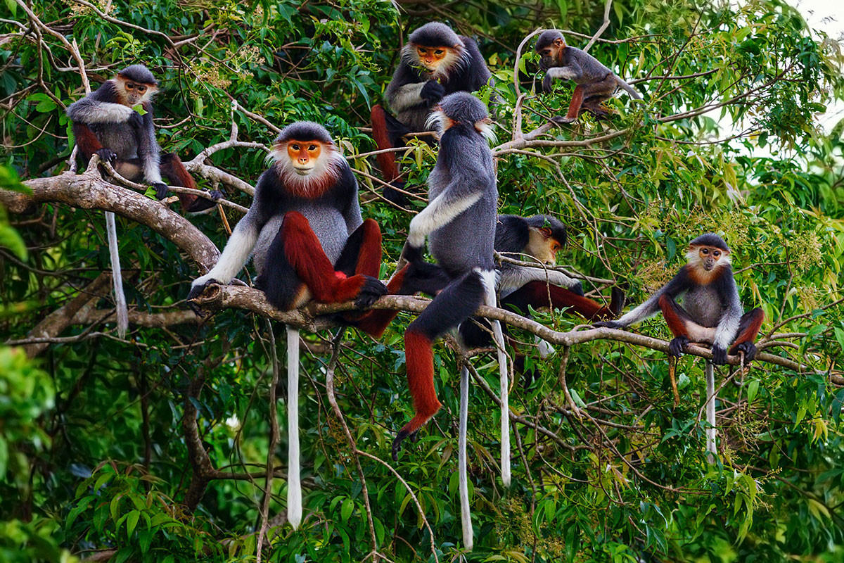 Red-shanked doucs in a tree