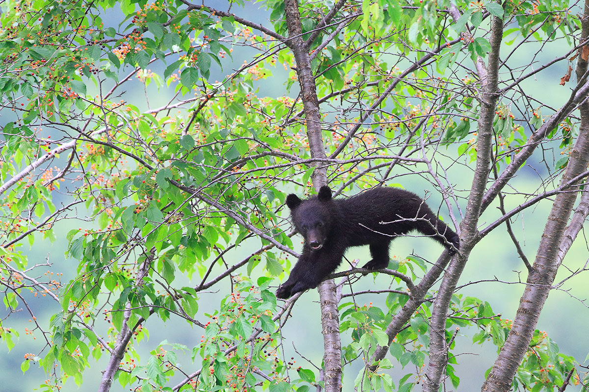 bear dung helps japanese cherry trees survive climate