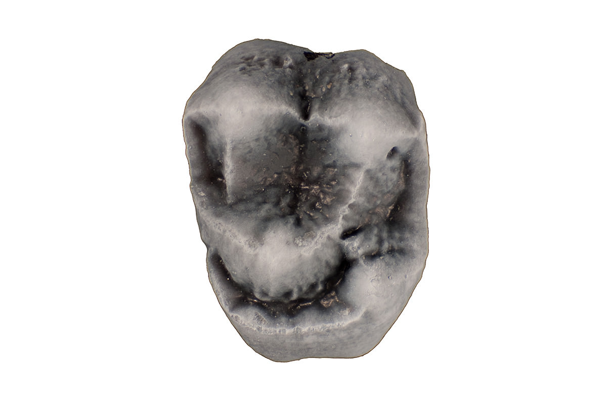 Photograph of the upper Molar of 21 million year old Panamacebus