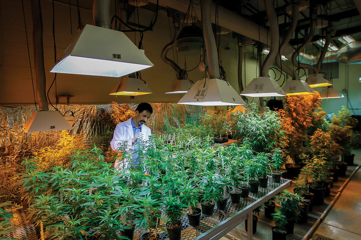 Scientist checking marijuana plants at a federal marijuana facility at the University of Mississippi