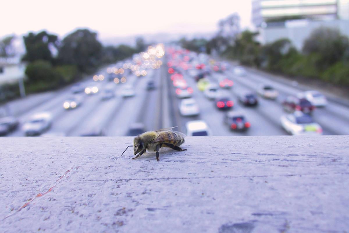 LA bee