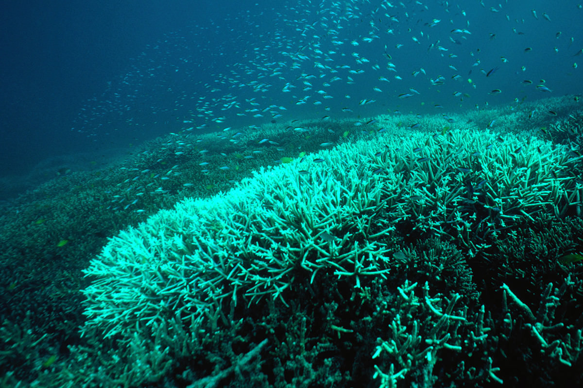 A mound of whitish green coral that doesn't look like the vibrant colourful stuff one associates with healthy reefs. Blue sea, shoal of small fish in background