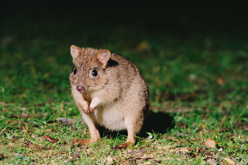 A brush-tailed bettong looks into the camera