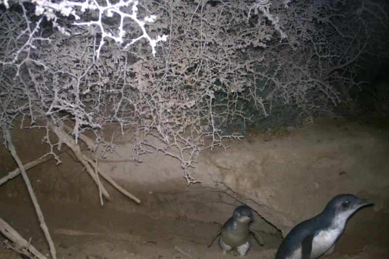Penguins take shelter in a burrow