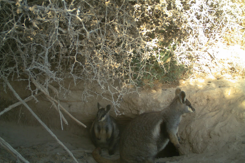 Black-footed rock-wallabies snapped by a camera trap