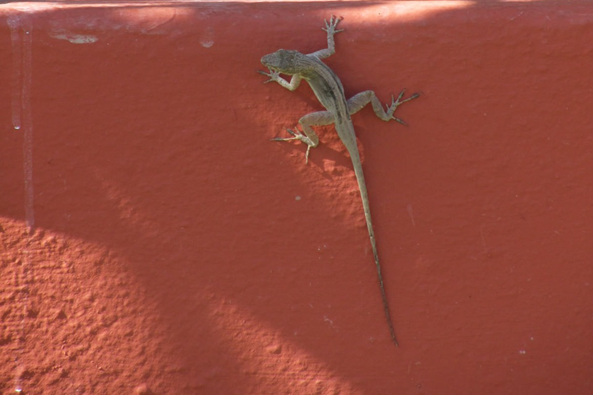 Lizard on reddish wall