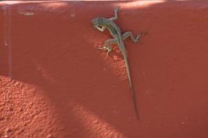 Lizard on reddish wall