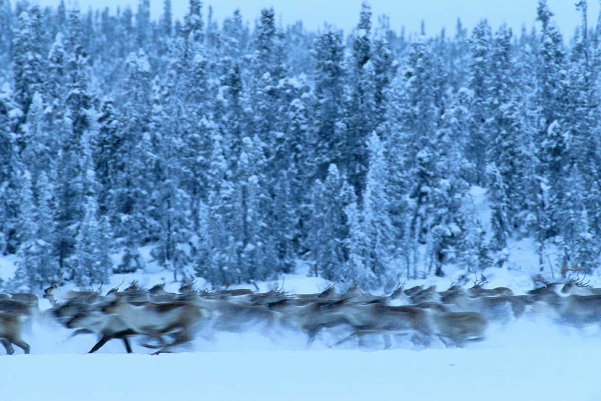 Herd of caribou running through snowy forest