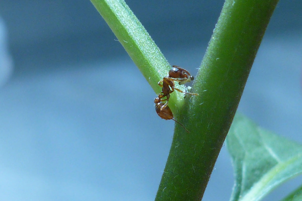 Red ant preying on tiny larva on stem of bittersweet nightshade