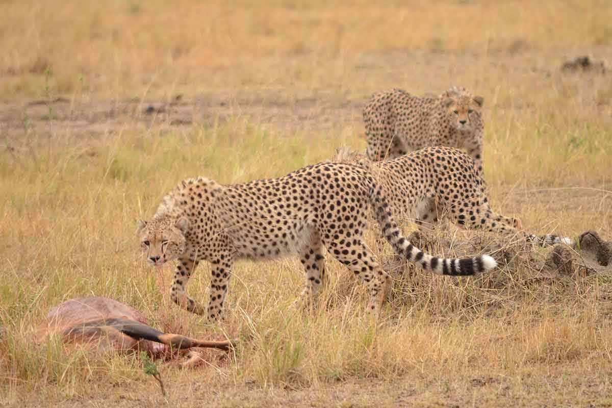 Three cheetahs approach a topi carcass