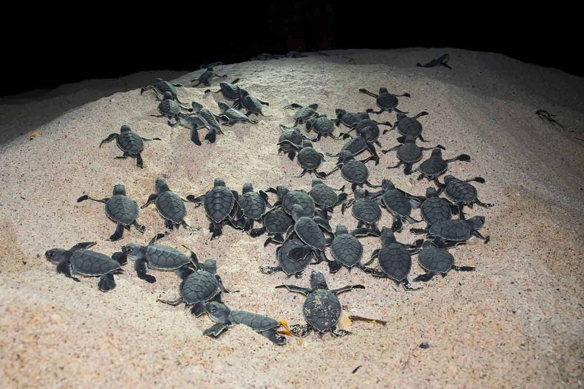 Why baby turtles work together to dig themselves out of a ... - photo#40