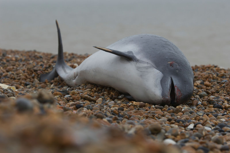 A grey and white porpoise lying on a pebbly beach