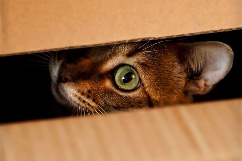 A tabby cat's face peeking out of a box, green eye