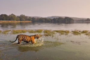 A tiger wading up to its chest in a marshy pool
