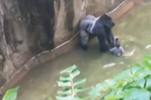Harambe with the child in a moat