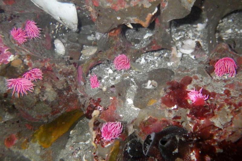 Lots of pink sea slugs in a pool