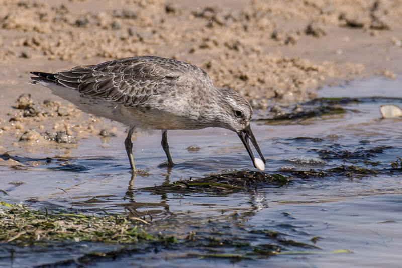 A red knot, which is brown, on the shoreline, with a white clam in its bill