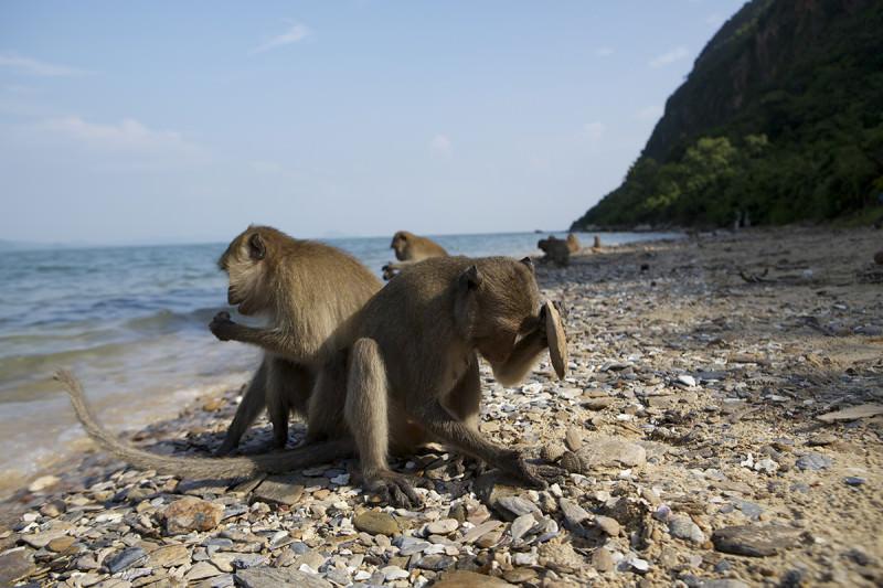 Macaques à l'aide des outils de pierre