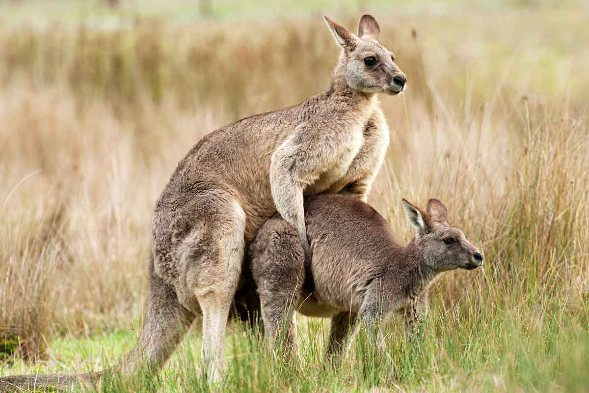 Cont-roo-ception: Hormone implants bring kangaroos under ...