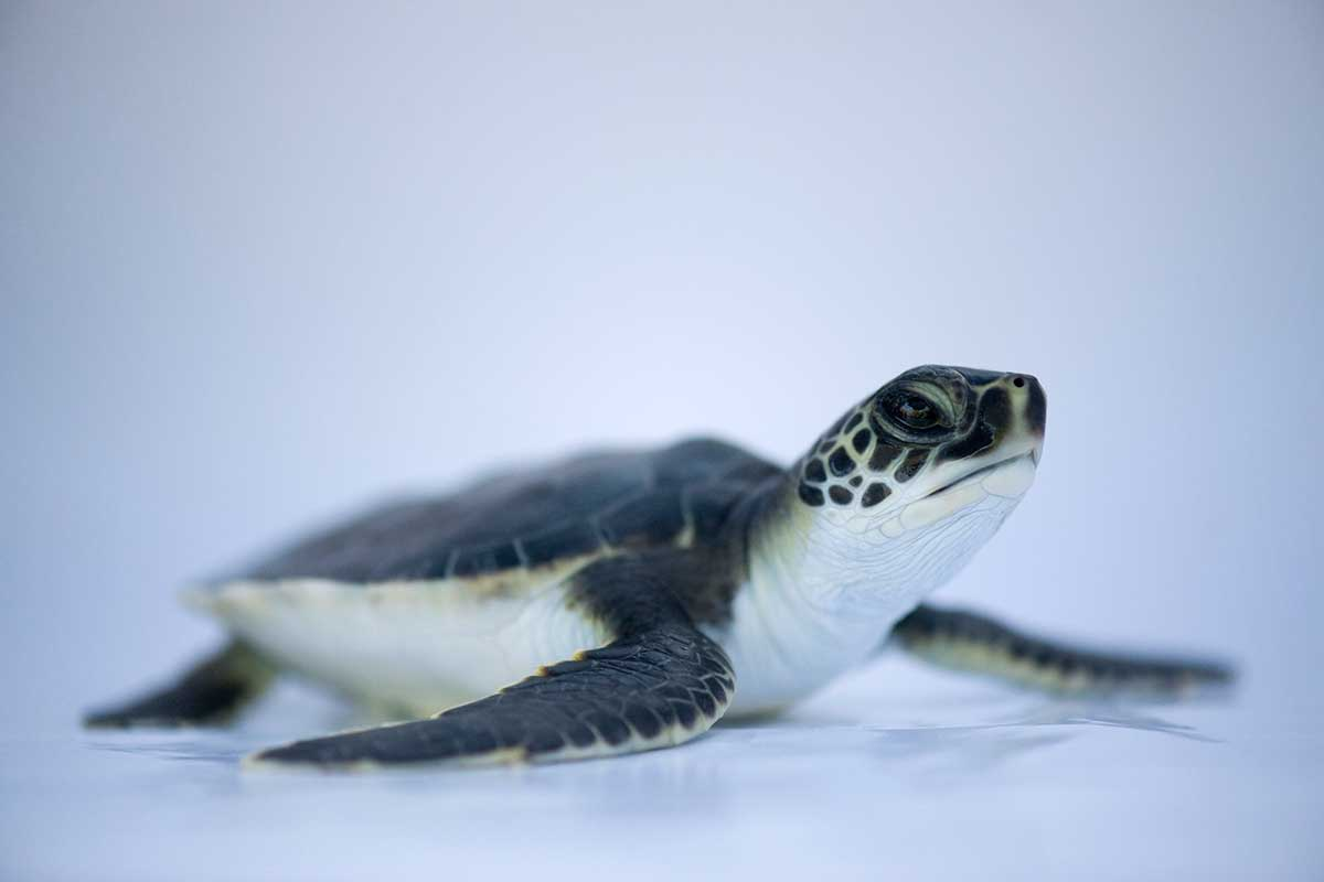 Watch a baby sea turtle being hypnotised so we can weigh ... - photo#3