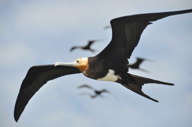 giant frigatebird on the wing