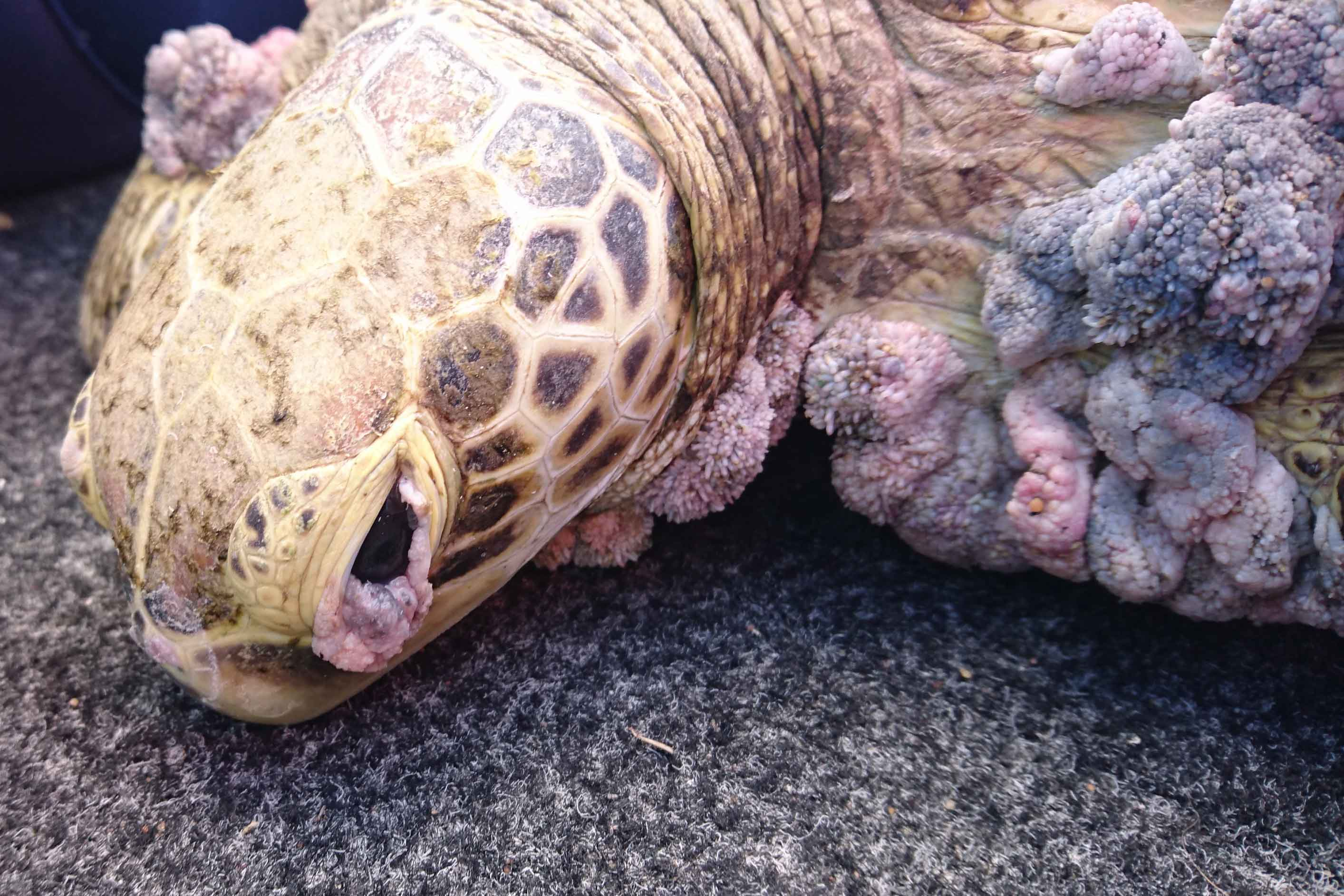 Turtle with many growths characteristic of fibropapillomatosis