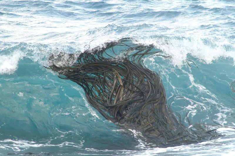 Mat of kelp