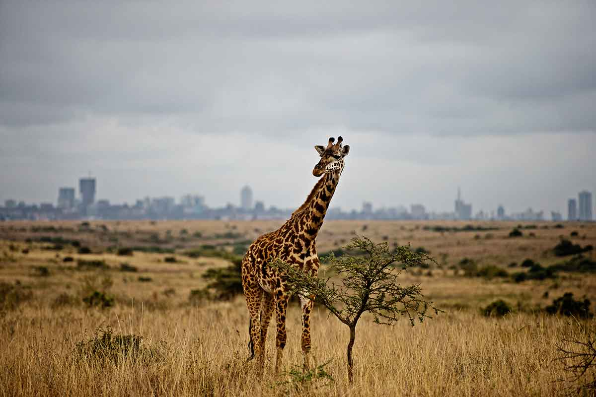 Giraffe with a blurry Nairobi cityscape on the horizon
