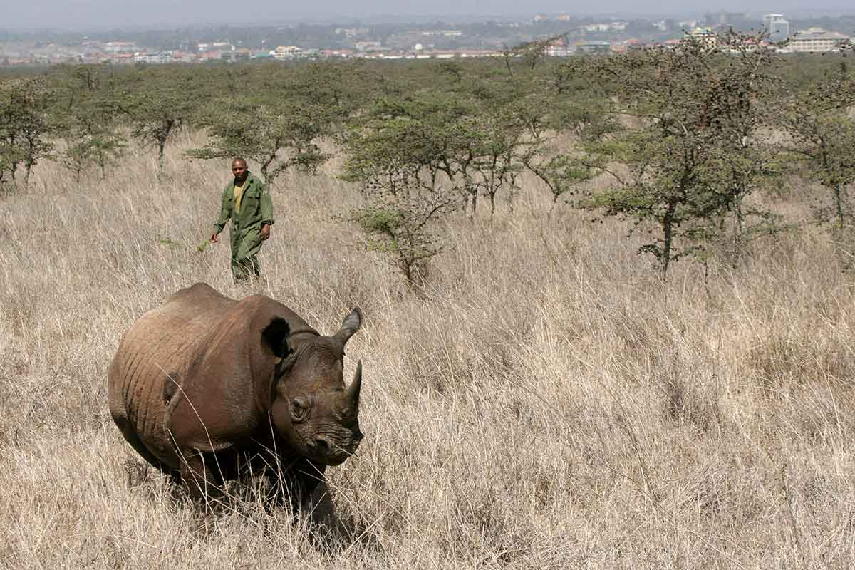 Rhino amid dry vegetation with man in military-style green in the background and Nairobi on horizon