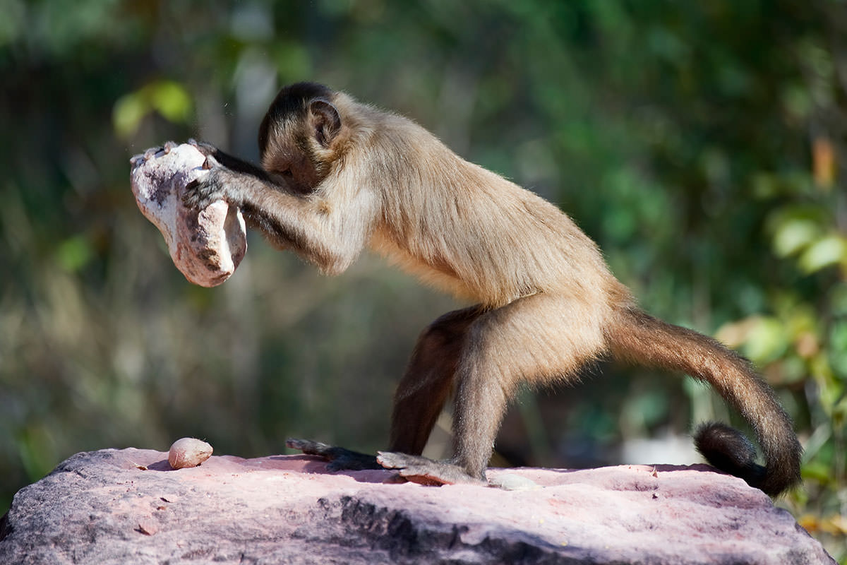 Monkey holds large stone over nut