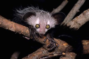 An aye-aye stares at the camera from a perching spot in a tree