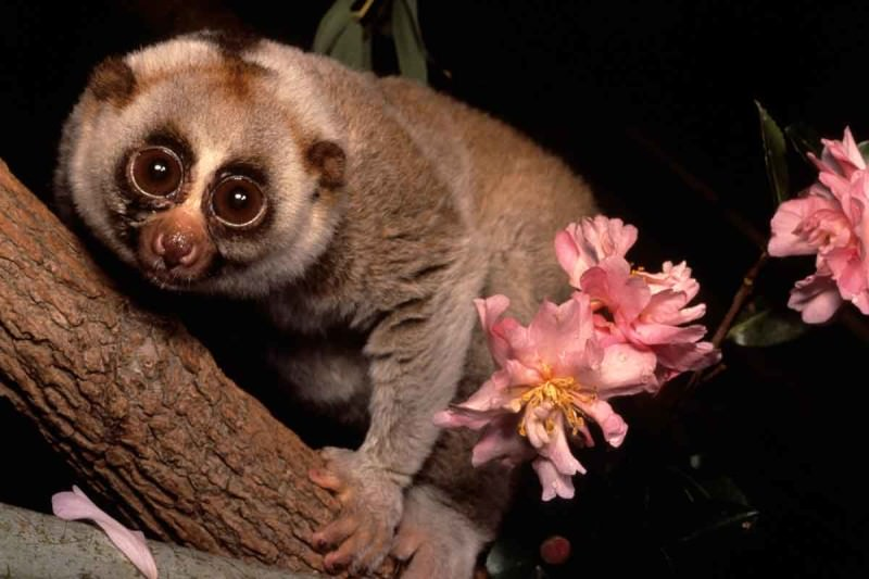 A slow loris surrounded by flowers in a tree