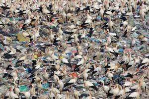 White storks feeding on landfill site
