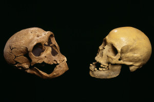 Neanderthal and human skulls side by side
