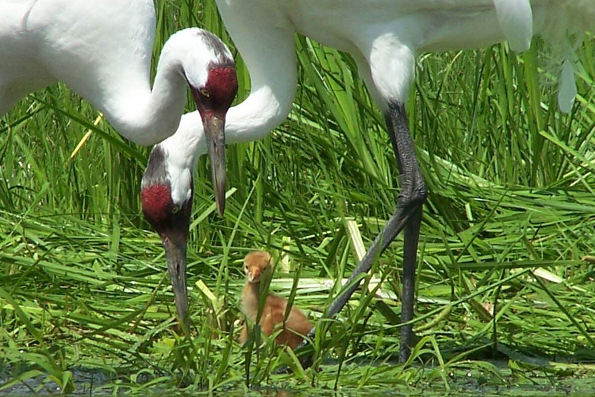 Two cranes in wetland with chick in the middle