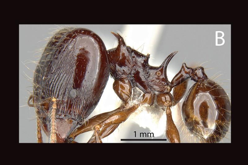 A major worker of the Pheidole drogon ant