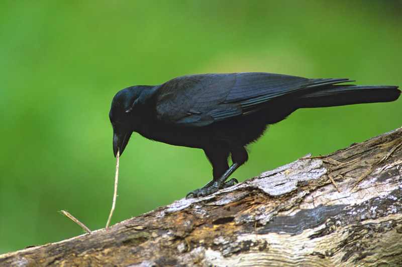 A crow stands on a branch holding a twig in its beak