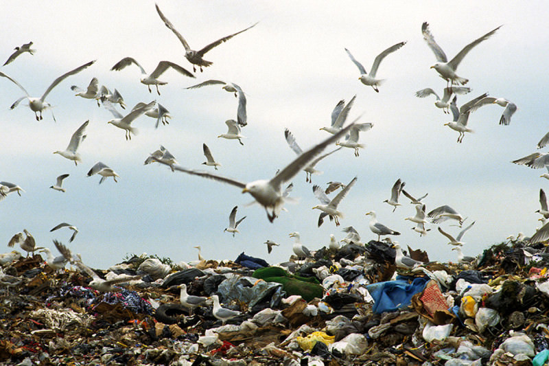 A flock of seagulls hovers over a landfill site