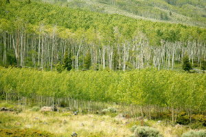 lots of slender aspens, pale trunks, bright green leaves, in two stands