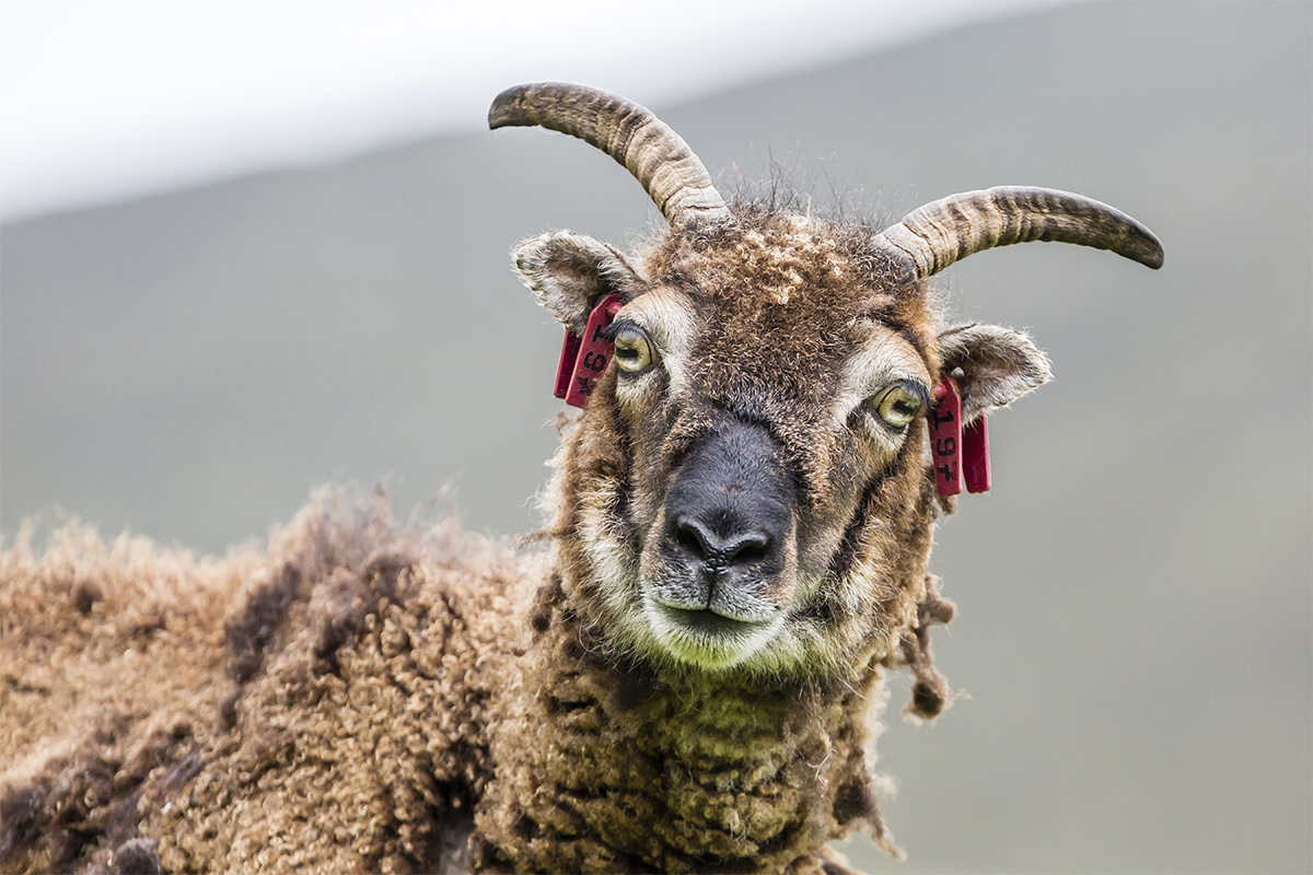 A Soay sheep