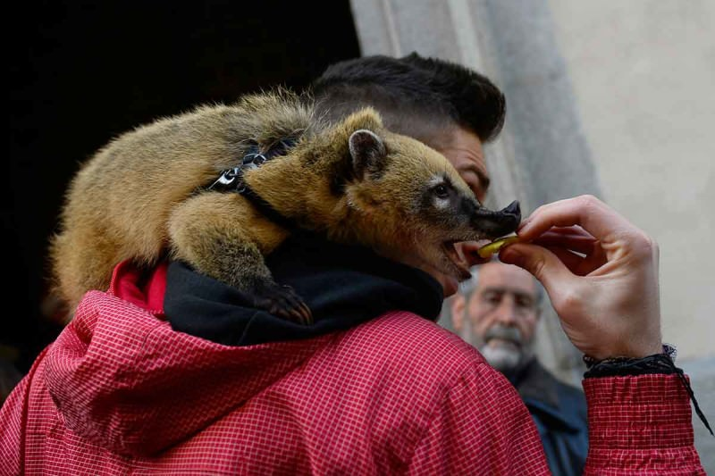 A coati on a man's shoulder