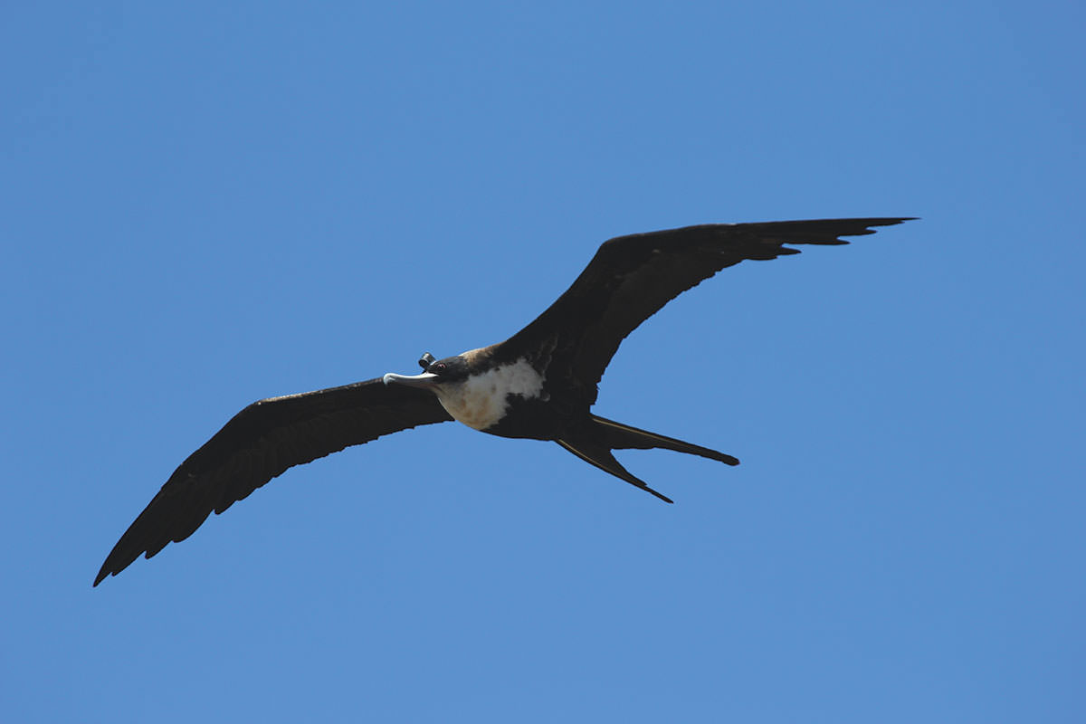 first evidence birds nap in flight without dropping out of sky